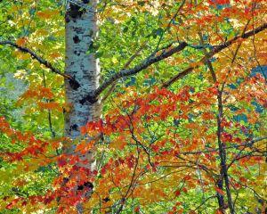 autumn alder
