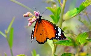 Kerala-Butterfly-5